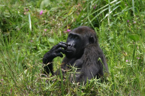 HIV strain came from gorillas, study finds - Los Angeles Times