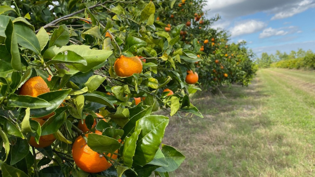 Florida's citrus industry has seen a sales boost during pandemic - Marketplace