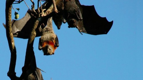 The 'super immunity' of bats is good for them, and potentially good for us