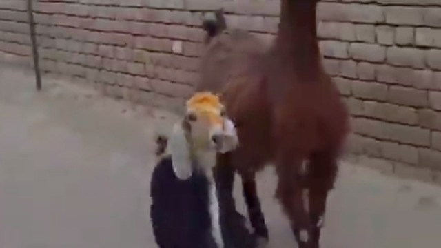 Two goats strut their stuff in a highly meme-able video