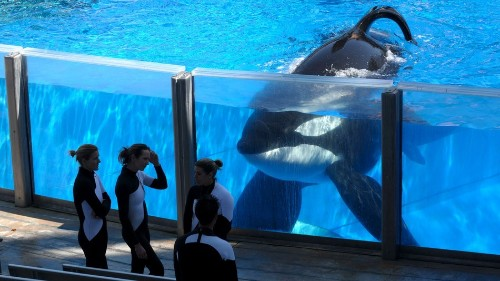 The killer whale from 'Blackfish' is dying