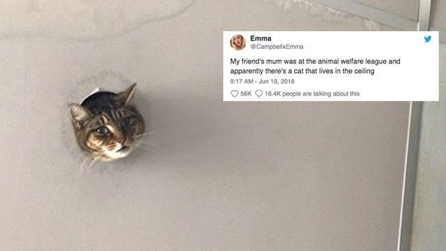 Cat pokes head through hole in the ceiling, achieves instant fame