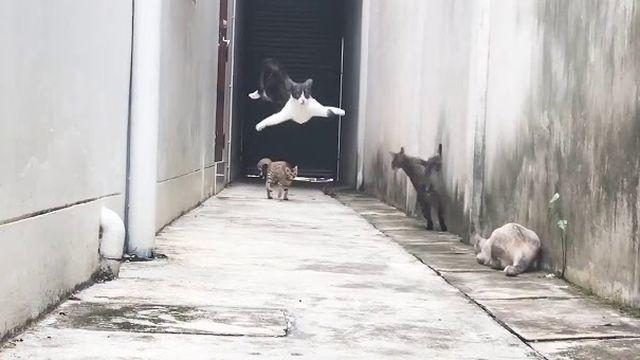 Parkour cat escapes furious feline gauntlet