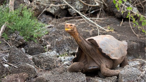 Diego The Tortoise Retires After Having A Lot Of Sex To Save His Species - Science