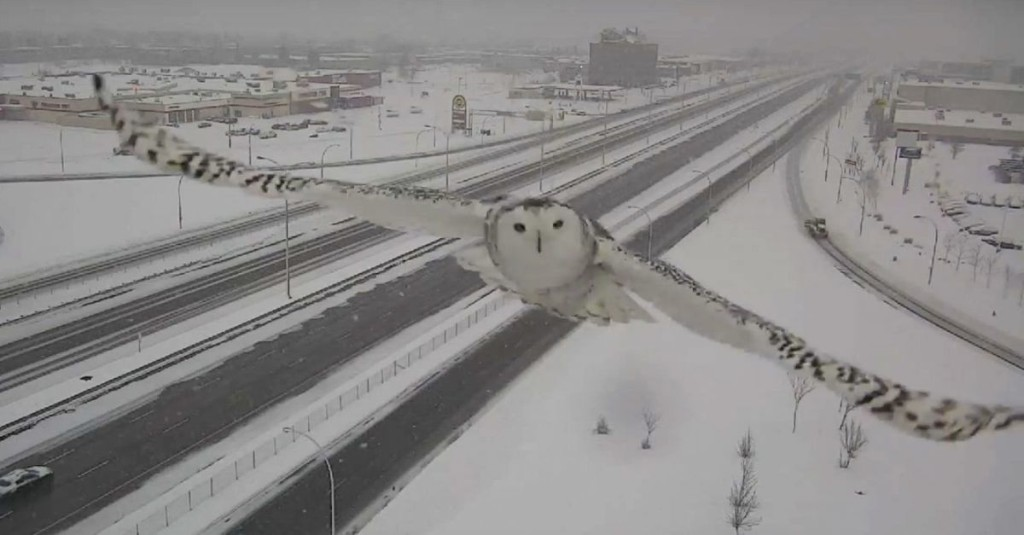 Majestic snowy owl is ready for her traffic cam closeup