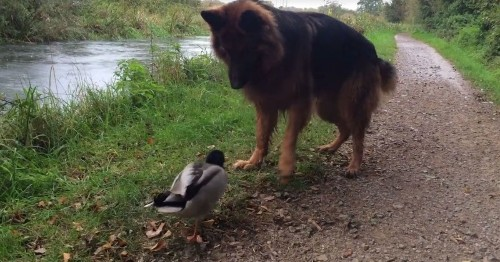 Badass duck casually fends off giant dog like it's NBD