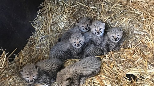 The world's pretty messed up, so here's a bunch of tiny-weeny cheetahs