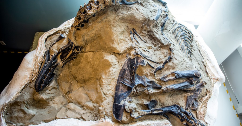 Impressive 'dueling' T. rex and triceratops fossils going on display
