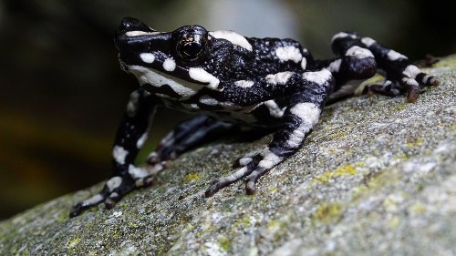 This 'starry night' toad was lost to scientists for decades