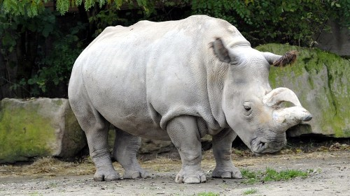 Only 4 northern white rhinos are left on Earth