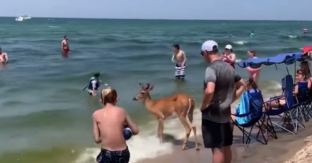Totally chill deer hangs out with beachgoers along Lake Michigan