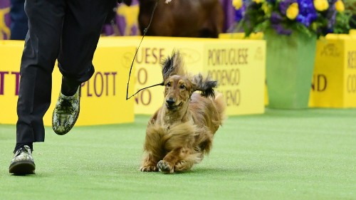 'Dachshund was robbed': People are outraged over the Westminster Dog Show winner