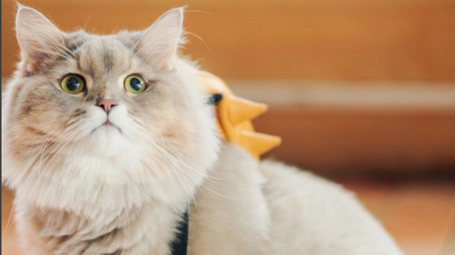 Just try not to obsess over this giant, fluffy cat