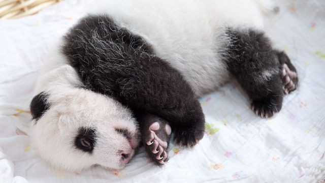 Mentally prepare yourself to handle the cuteness of these baby pandas