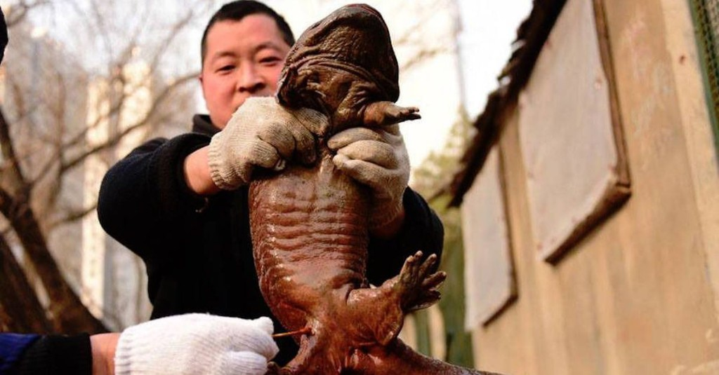 Critically endangered giant salamander found in Chinese sewage plant
