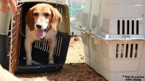 156 adorable beagles up for adoption after being rescued from an animal testing lab in Bengaluru