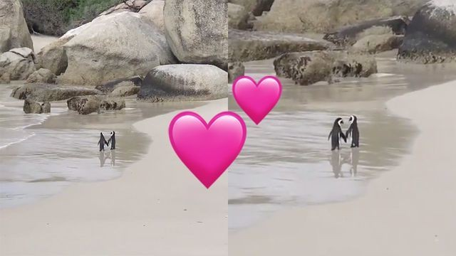 Please enjoy this video of 2 penguins taking a romantic beachside stroll