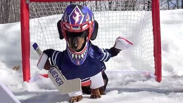 Crusoe the dachshund is probably a better hockey goalie than most NHL goalies