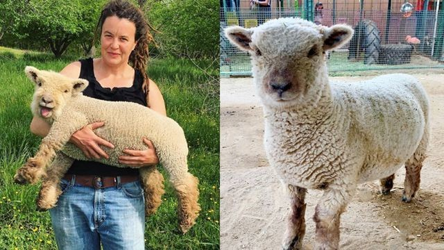 16 babydoll sheep so adorable you will cry