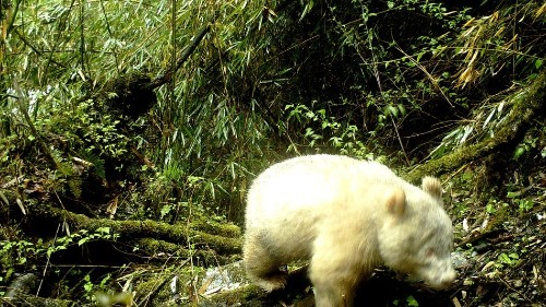 Albino panda cub is the cutest genetic rarity you'll see today
