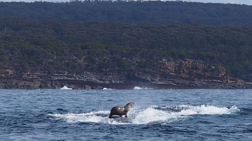 This seal is surfing on a humpback whale like it's NBD