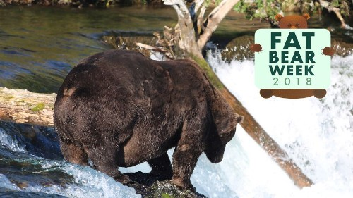 Enormous Bear 747 may just take the cake as Fat Bear Week's fattest bear