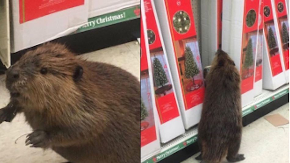 Rage-fueled beaver declares war on artificial Christmas trees