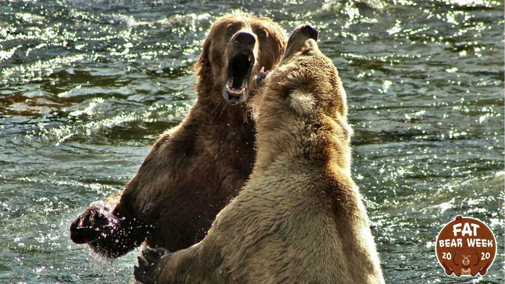 How The Fat Bears Are Beamed From Remote Alaska To The World