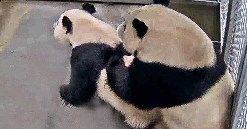 This is an image of two pandas having sex. Here's why it means a lot. - Science