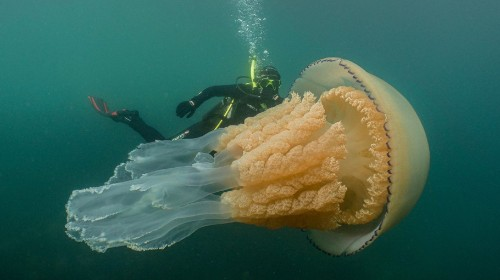 Giant Jellyfish Takes A Swim With New Diver Friend, Goes Viral