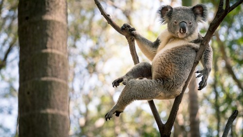 I guess this koala is hot?