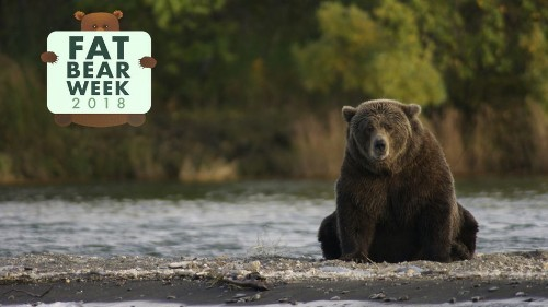 A famous matriarch bear is missing from Fat Bear Week. Where could she be?