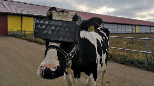 Russian Farmers Are Using VR Headsets To Increase Milk Production Of Cows - Science