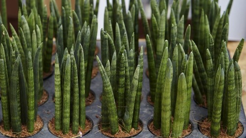 Plant recommendation: A snake plant that looks like a bunch of fingers