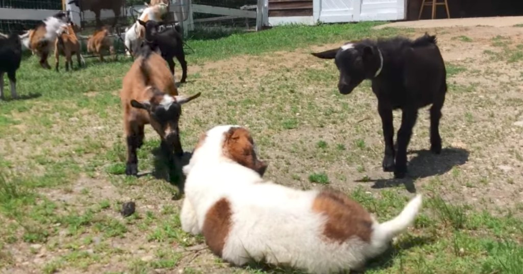Puppy meets a bunch of goats and melts hearts around the world