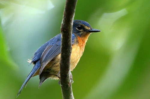 Scientists Discover 10 new Kinds Of Songbirds On Indonesian Islands - Science