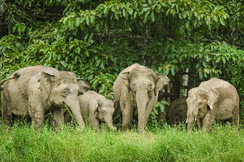 Elephants are the latest wildlife species to face extinction in Malaysia - Science