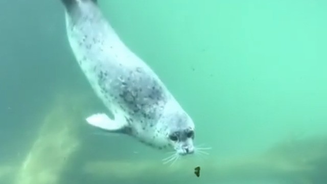 Video of a seal playing with a butterfly is the purest thing on the internet