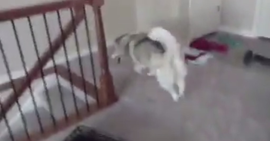 Dog, who has probably never seen stairs, decides a leap of faith is the best course of action
