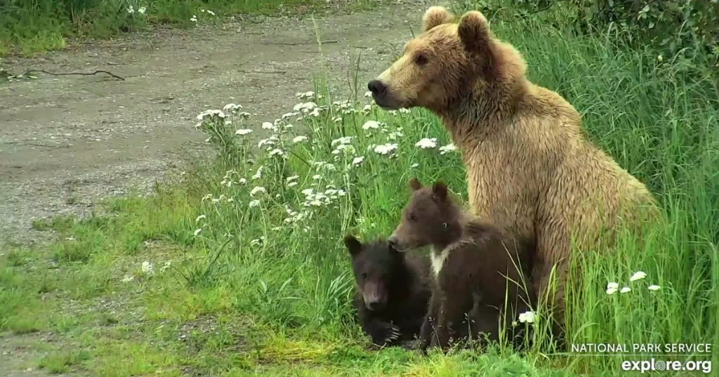 A cub died on the bear cams, a testimony of the harsh bear world