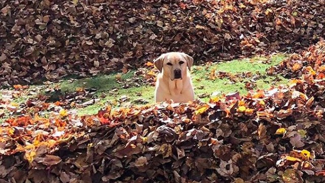 Stella the dog takes her annual, joyous leap into a big pile of leaves