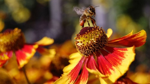 Pesticides hit bees harder when they're eating junk food, study finds
