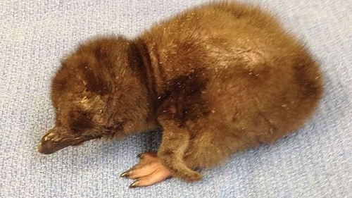 Cincinnati Zoo named its newest baby penguin Bowie