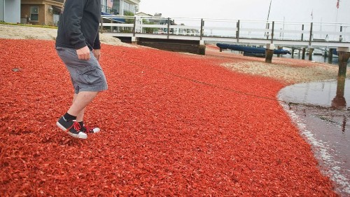 Thousands of tiny red crabs wash up on California's shores