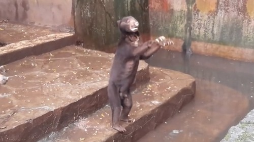 Videos of starving sun bears in a zoo begging for food spark outrage
