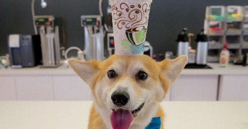 Important lessons in office etiquette, demonstrated by a corgi