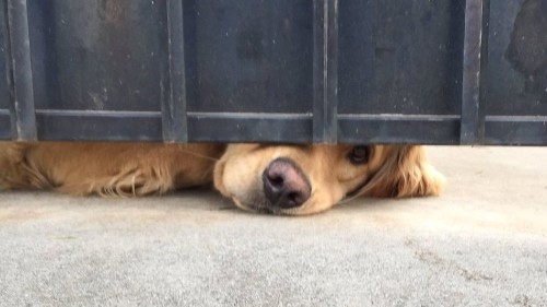Every day a sweet dog peeks out from under a gate, waiting for his friend