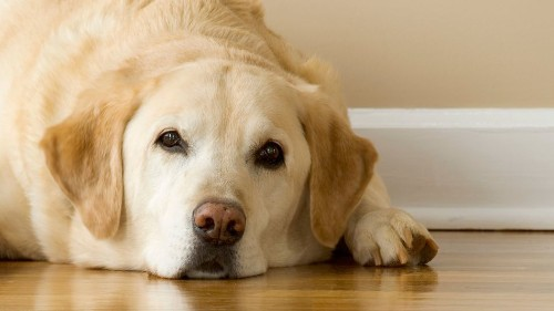 Your labrador can't help but beg for food. Really, it's in his genes.