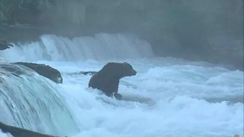 A dominant brown bear has returned to the Alaska bear cam, seeking fish and females