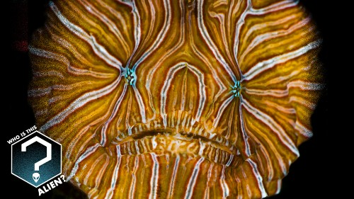 Who is this alien? Why, it's the psychedelic frogfish.